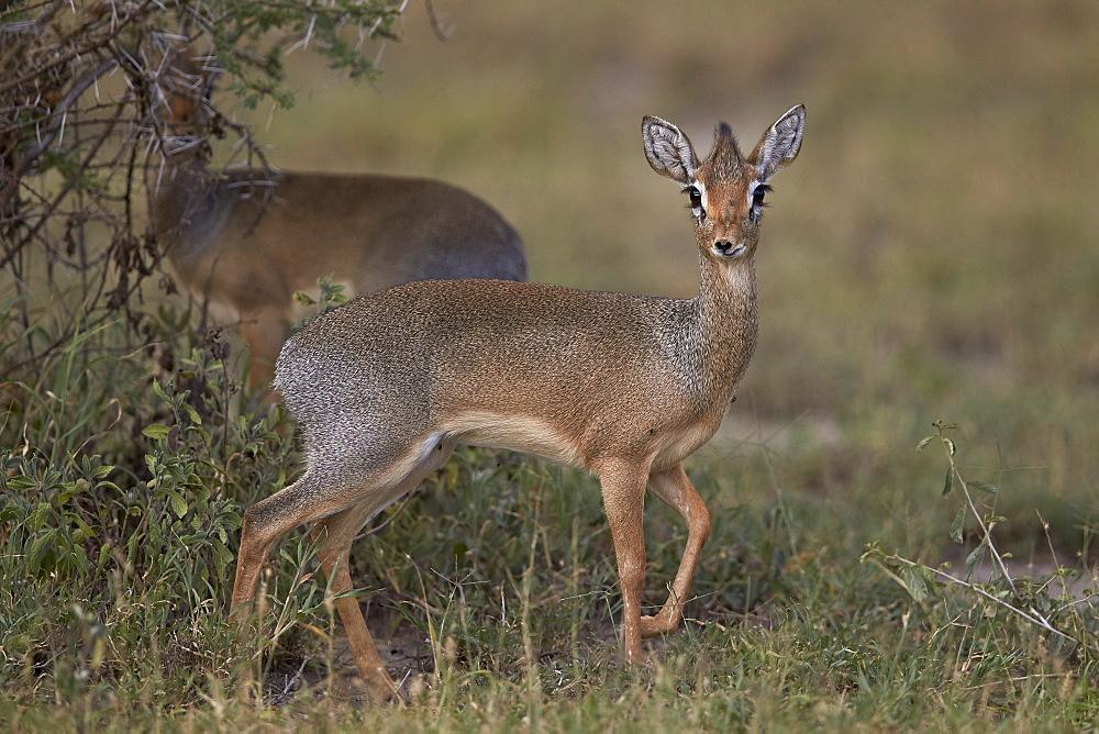 Kirk's dik dik (Kirks dik-dik) (Madoqua kirkii), female, Ngorongoro Conservation Area, UNESCO World Heritage Site, Serengeti, Tanzania, East Africa, Africa