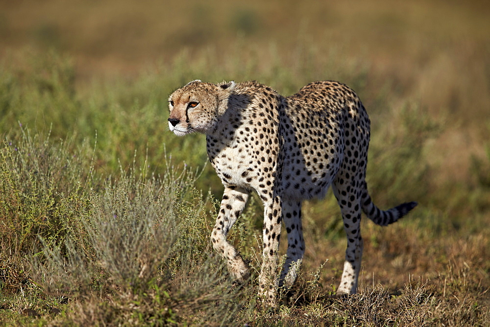 Cheetah (Acinonyx jubatus), Ngorongoro Conservation Area, UNESCO World Heritage Site, Serengeti, Tanzania, East Africa, Africa