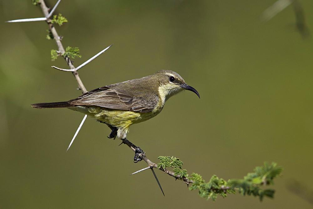 Beautiful sunbird (Cinnyris pulchella), female, Ngorongoro Conservation Area, UNESCO World Heritage Site, Serengeti, Tanzania, East Africa, Africa