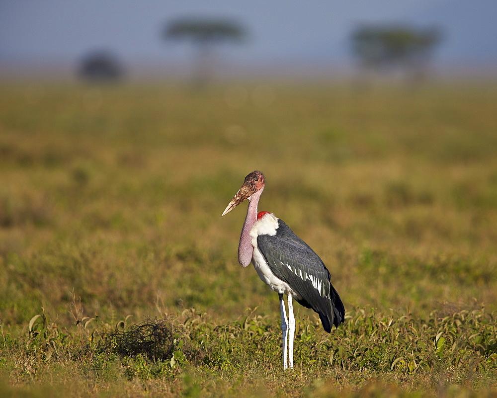 Marabou stork (Leptoptilos crumeniferus), Ngorongoro Conservation Area, UNESCO World Heritage Site, Serengeti, Tanzania, East Africa, Africa