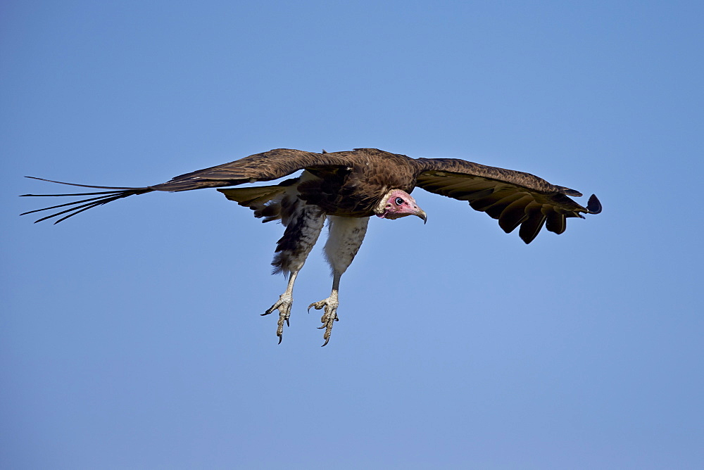 Hooded vulture (Necrosyrtes monachus) in flight on approach to landing, Ngorongoro Conservation Area, Serengeti, Tanzania, East Africa, Africa