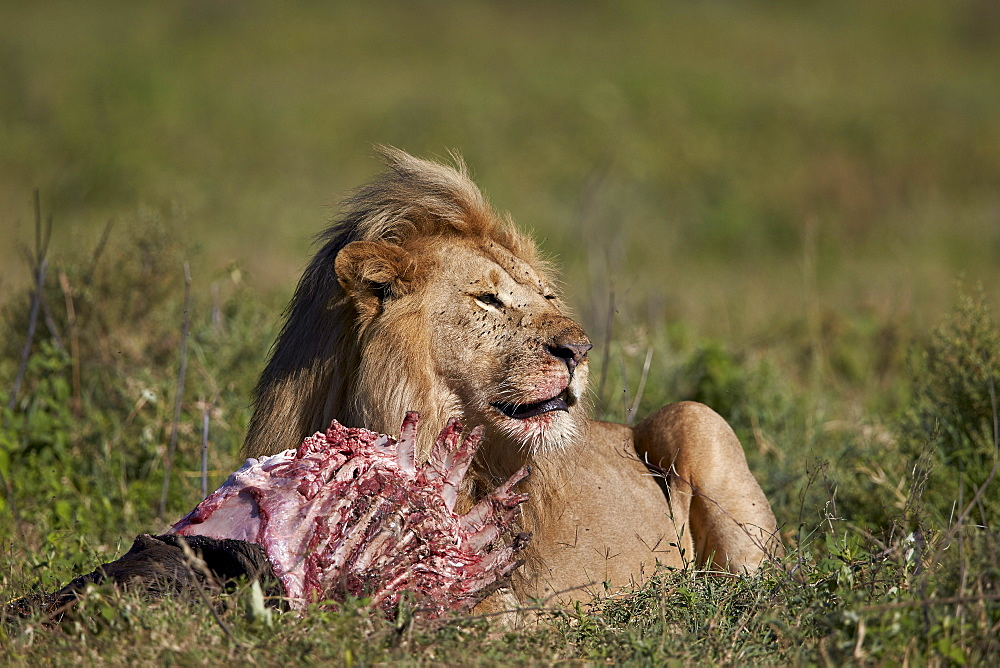 Lion (Panthera leo) at a wildebeest carcass, Ngorongoro Conservation Area, UNESCO World Heritage Site, Serengeti, Tanzania, East Africa, Africa