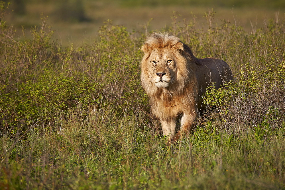 Lion (Panthera leo), Ngorongoro Conservation Area, UNESCO World Heritage Site, Serengeti, Tanzania, East Africa, Africa