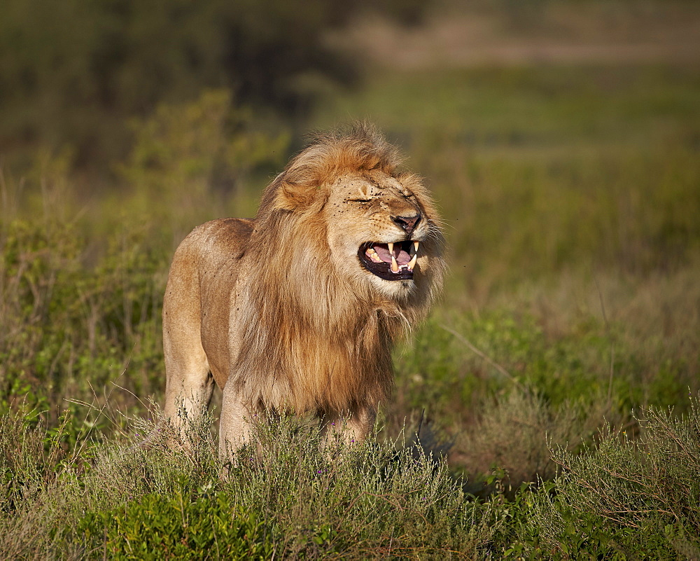 Lion (Panthera leo) demonstrating the flehmen response, Ngorongoro Conservation Area, UNESCO World Heritage Site, Serengeti, Tanzania, East Africa, Africa