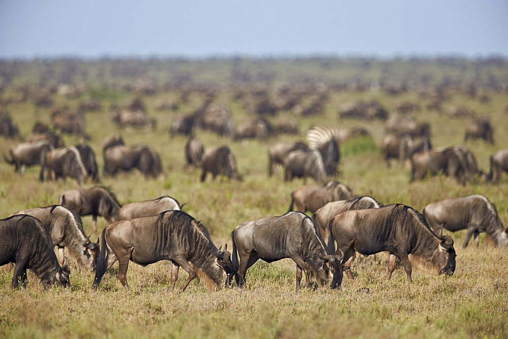 Blue wildebeest (brindled gnu) (Connochaetes taurinus) herd, Ngorongoro Conservation Area, UNESCO World Heritage Site, Serengeti, Tanzania, East Africa, Africa