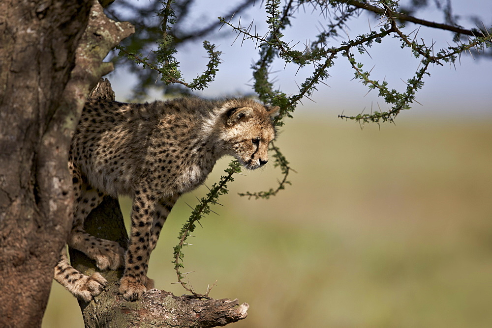 Cheetah (Acinonyx jubatus) cub in an acacia tree, Ngorongoro Conservation Area, UNESCO World Heritage Site, Serengeti, Tanzania, East Africa, Africa