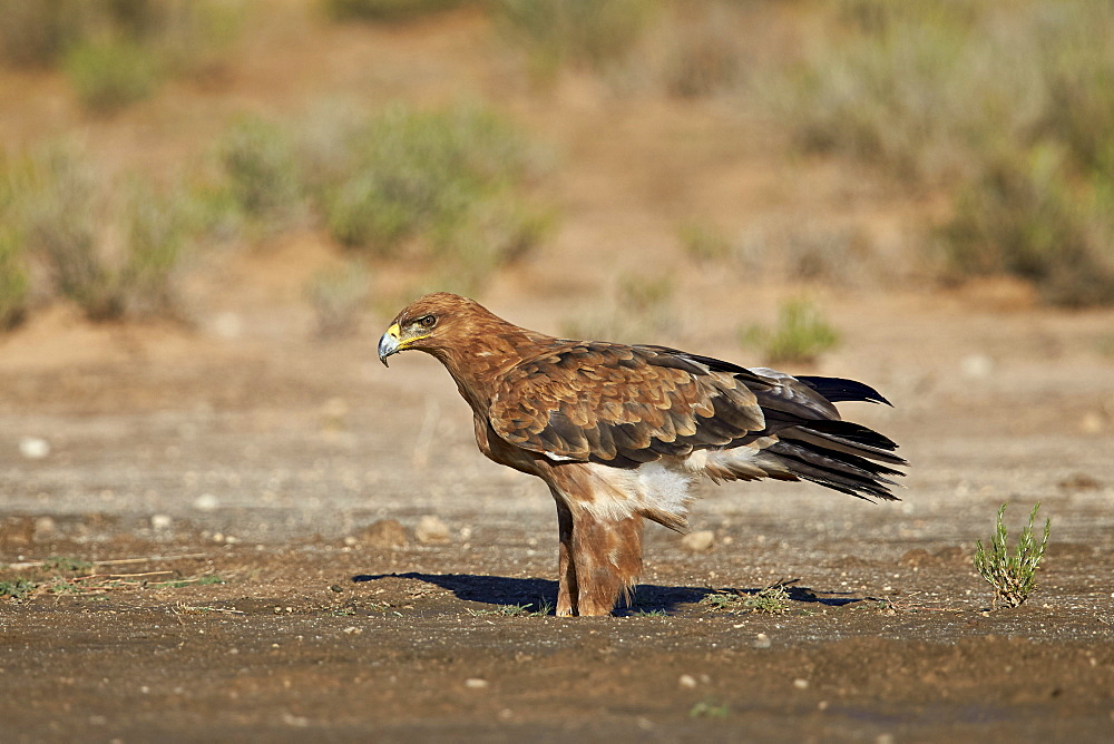 Tawny eagle (Aquila rapax), Kgalagadi Transfrontier Park encompassing the former Kalahari Gemsbok National Park, South Africa, Africa