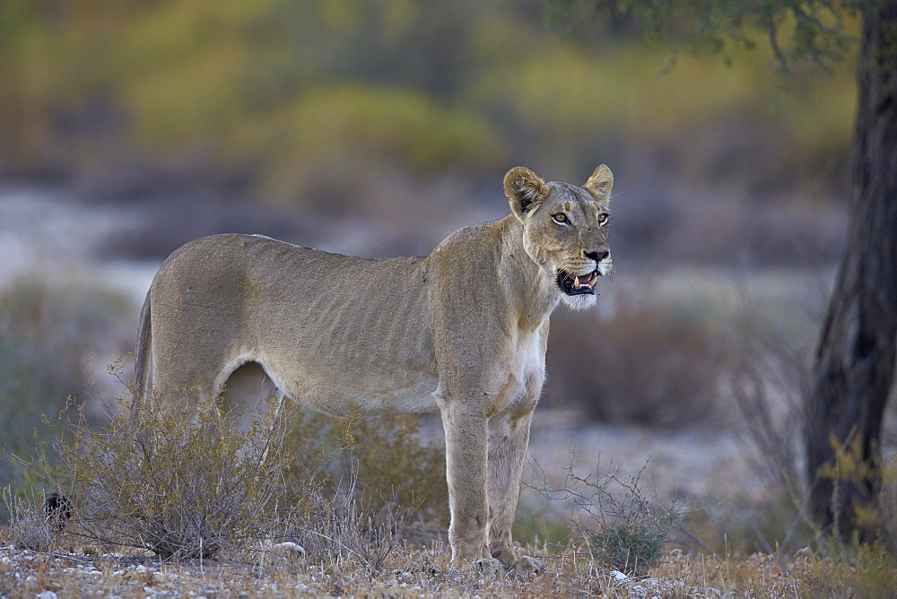 Lioness (Panthera leo), Kgalagadi Transfrontier Park encompassing the former Kalahari Gemsbok National Park, South Africa, Africa