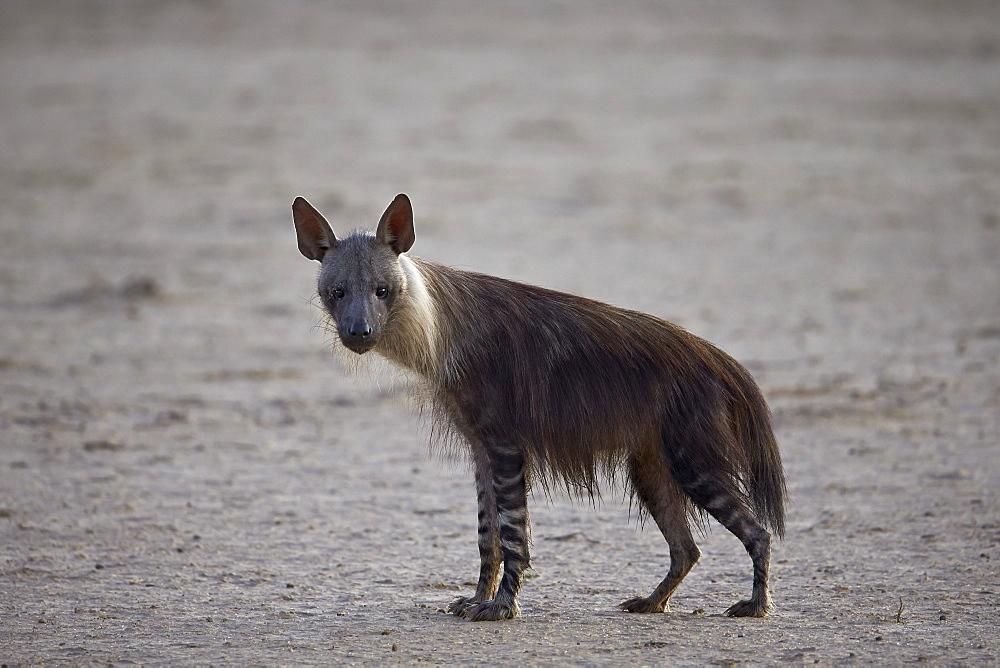 Brown hyena (Hyaena brunnea) (formerly Parahyaena brunnea), Kgalagadi Transfrontier Park encompassing the former Kalahari Gemsbok National Park, South Africa, Africa