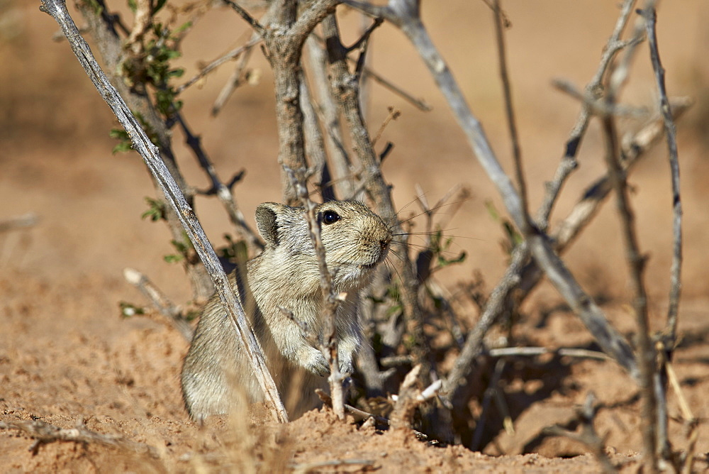 Brant's whistling rat (Parotomys brantsii), Kgalagadi Transfrontier Park encompassing the former Kalahari Gemsbok National Park, South Africa, Africa