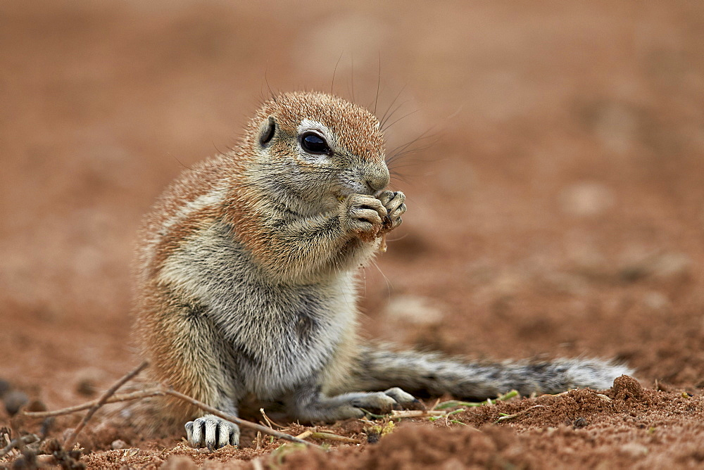 Young Cape ground squirrel (Xerus inauris) eating, Kgalagadi Transfrontier Park encompassing the former Kalahari Gemsbok National Park, South Africa, Africa