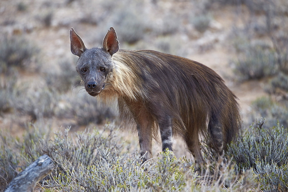 Brown hyena (Hyaena brunnea) (formerly Parahyaena brunnea), Kgalagadi Transfrontier Park encompassing the former Kalahari Gemsbok National Park, South Africa, Africa
