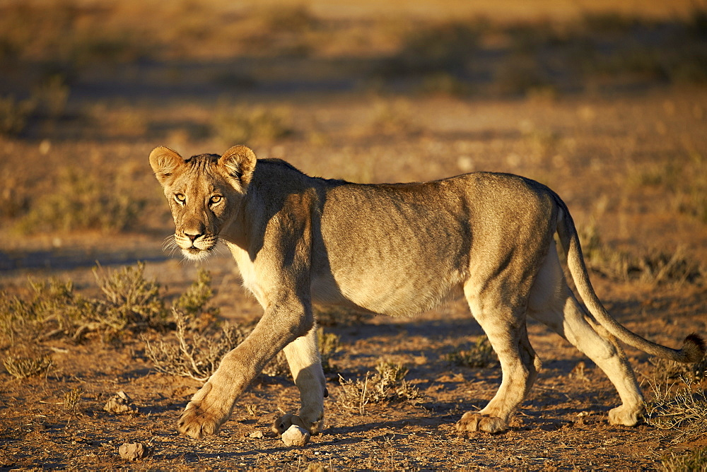 Lion (Panthera leo), immature, Kgalagadi Transfrontier Park encompassing the former Kalahari Gemsbok National Park, South Africa, Africa