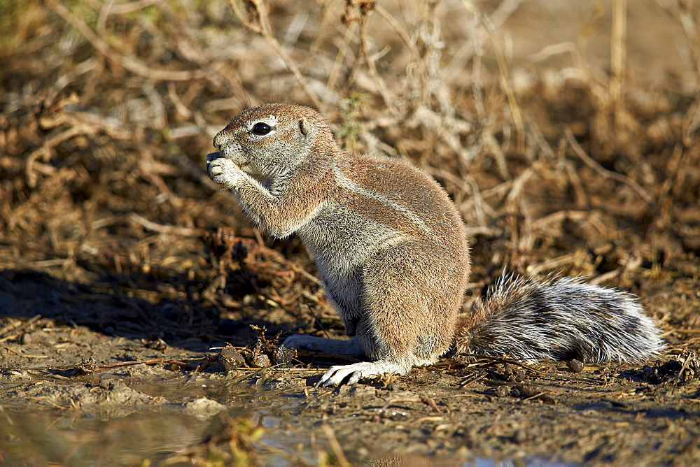 Cape ground squirrel (Xerus inauris) eating, Kgalagadi Transfrontier Park encompassing the former Kalahari Gemsbok National Park, South Africa, Africa