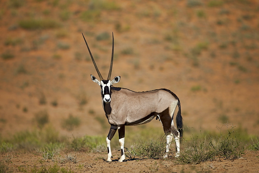 Gemsbok (South African oryx) (Oryx gazella), Kgalagadi Transfrontier Park encompassing the former Kalahari Gemsbok National Park, South Africa, Africa