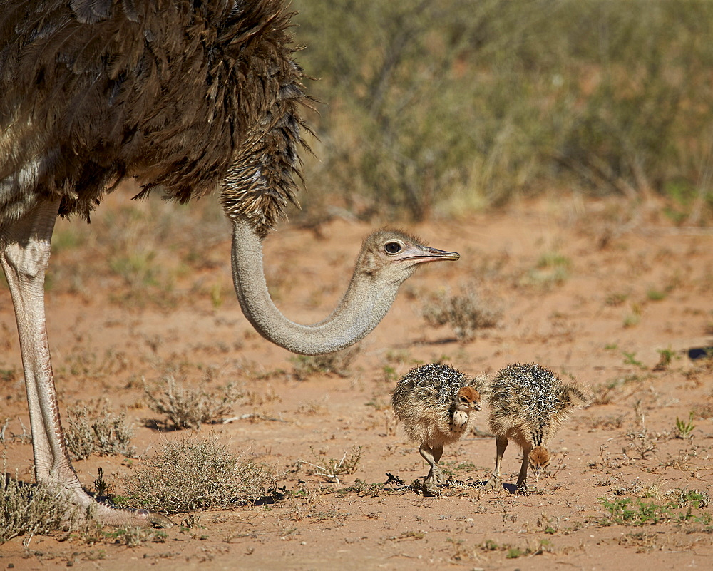 Common ostrich (Struthio camelus) female with two chicks, Kgalagadi Transfrontier Park encompassing the former Kalahari Gemsbok National Park, South Africa, Africa