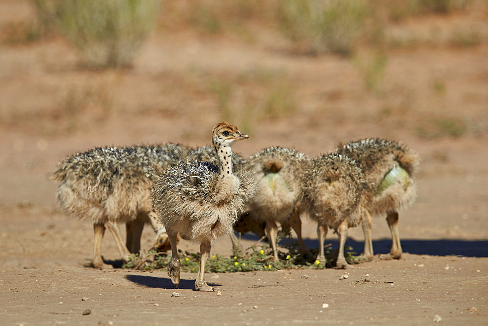 Common ostrich (Struthio camelus) chicks, Kgalagadi Transfrontier Park encompassing the former Kalahari Gemsbok National Park, South Africa, Africa