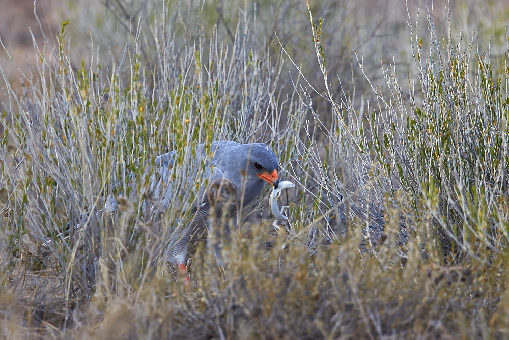 Southern pale chanting goshawk (Melierax canorus) with a skink, Kgalagadi Transfrontier Park encompassing the former Kalahari Gemsbok National Park, South Africa, Africa