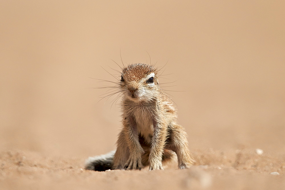 Baby Cape ground squirrel (Xerus inauris), Kgalagadi Transfrontier Park, encompassing the former Kalahari Gemsbok National Park, South Africa, Africa