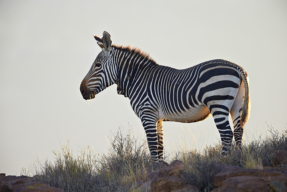 Cape mountain zebra (Equus zebra zebra), Karoo National Park, South Africa, Africa