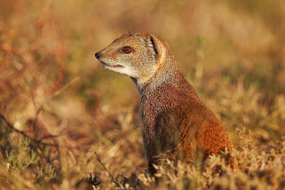 Yellow mongoose (Cynictis penicillata), Mountain Zebra National Park, South Africa, Africa