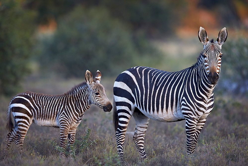 Cape mountain zebra (Equus zebra zebra) mare and foal, Mountain Zebra National Park, South Africa, Africa