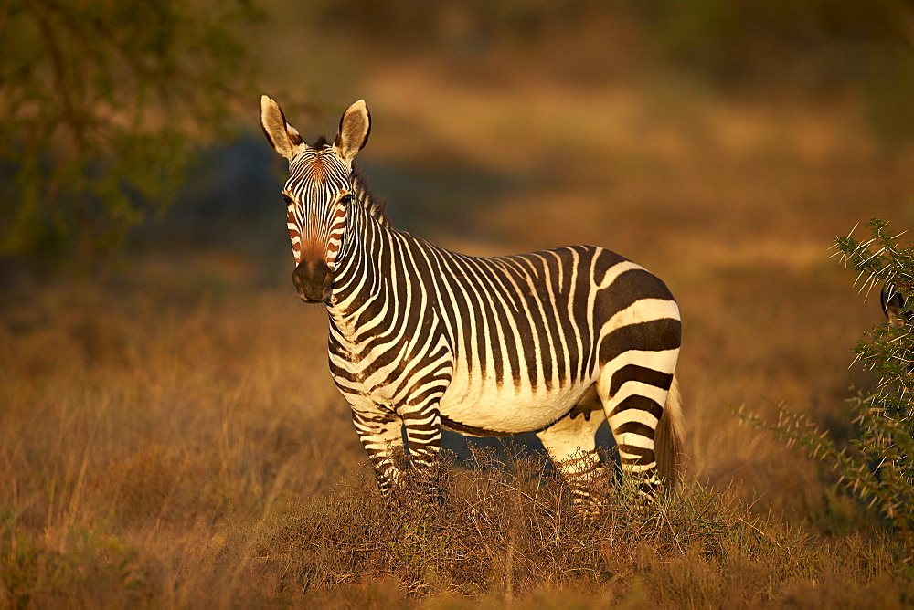 Cape mountain zebra (Equus zebra zebra) mare, Mountain Zebra National Park, South Africa, Africa