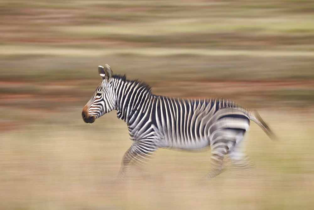 Cape mountain zebra (Equus zebra zebra) running, Mountain Zebra National Park, South Africa, Africa