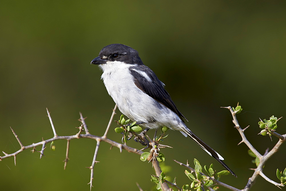Fiscal shrike (common fiscal) (Lanius collaris), Addo Elephant National Park, South Africa, Africa