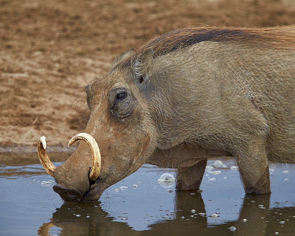 Warthog (Phacochoerus aethiopicus) drinking, Addo Elephant National Park, South Africa, Africa