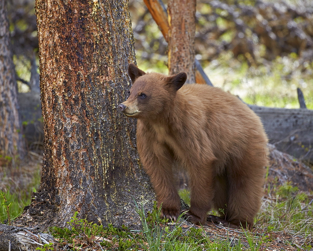 Cinnamon black bear (Ursus americanus) yearling cub, Yellowstone National Park, Wyoming, United States of America, North America