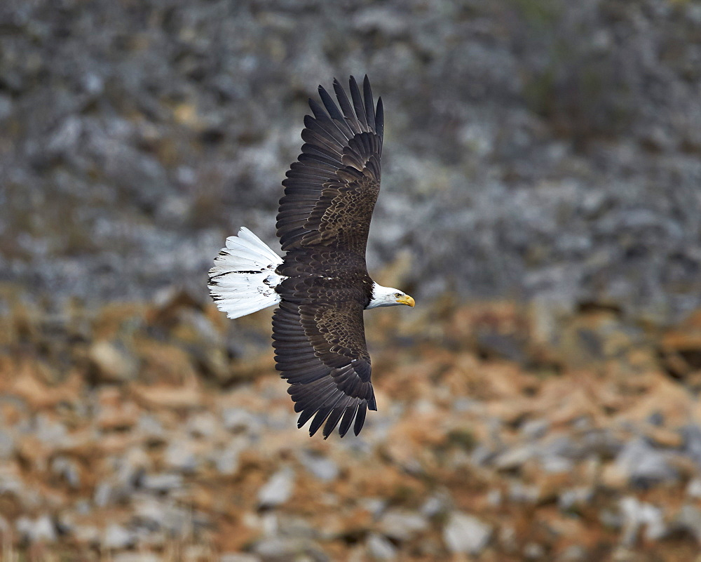 Bald eagle (Haliaeetus leucocephalus) in flight, Yellowstone National Park, Wyoming, United States of America, North America