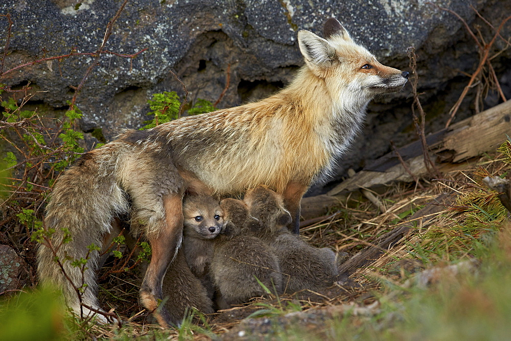 Red fox (Vulpes vulpes) (Vulpes fulva) vixen nursing her kits, Yellowstone National Park, Wyoming, United States of America, North America