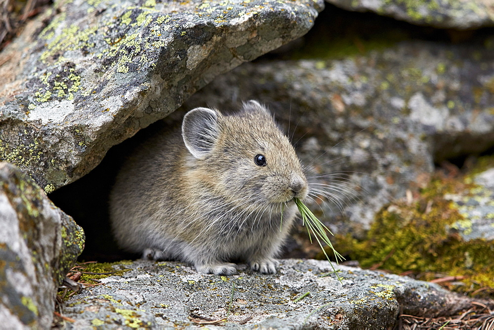American pika (Ochotona princeps) eating, Yellowstone National Park, Wyoming, United States of America, North America