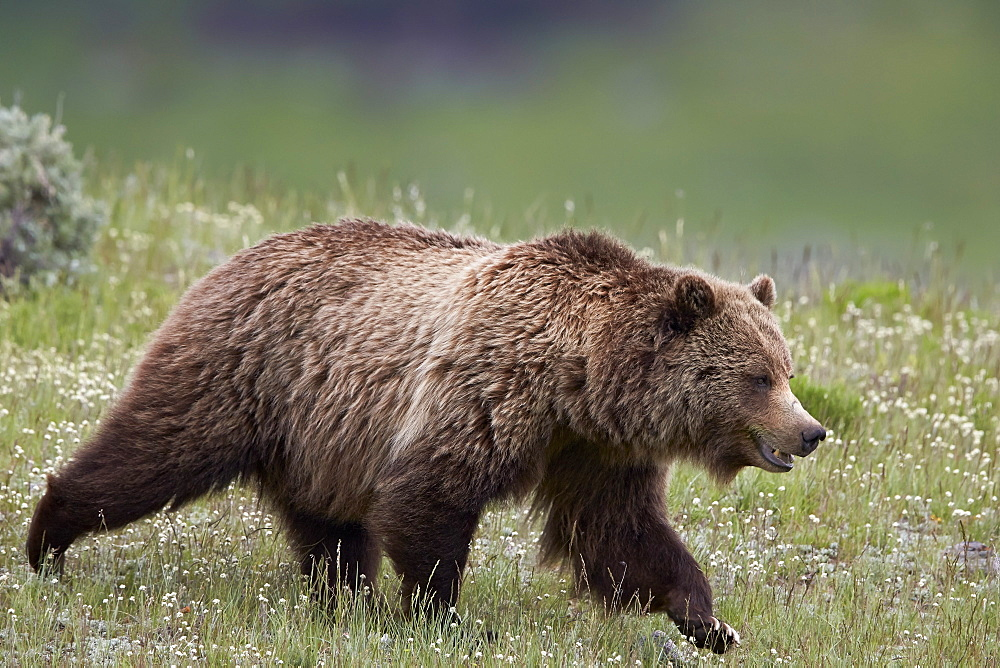 Grizzly Bear (Ursus arctos horribilis), Yellowstone National Park, Wyoming, United States of America, North America