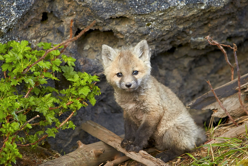 Red fox (Vulpes vulpes) (Vulpes fulva) kit posing, Yellowstone National Park, Wyoming, United States of America, North America