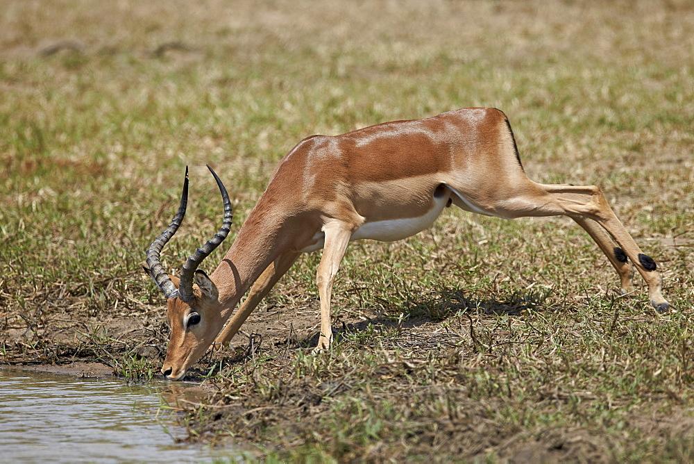 Impala (Aepyceros melampus) buck drinking, Kruger National Park, South Africa, Africa