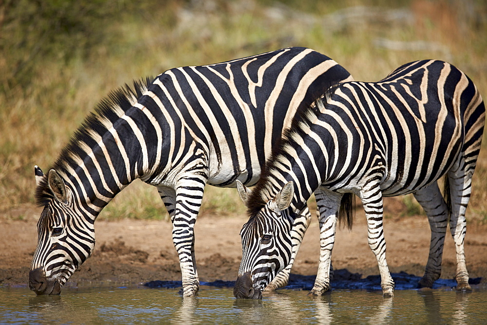 Two common zebra (plains zebra) (Burchell's zebra) (Equus burchelli) drinking, Kruger National Park, South Africa, Africa