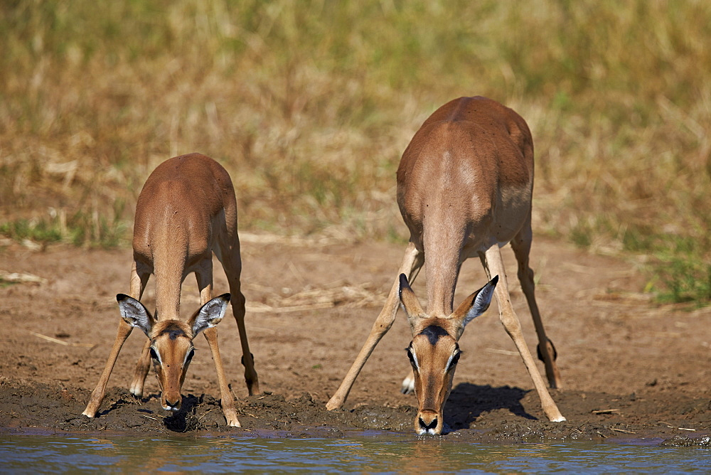 Impala (Aepyceros melampus) doe and calf drinking, Kruger National Park, South Africa, Africa