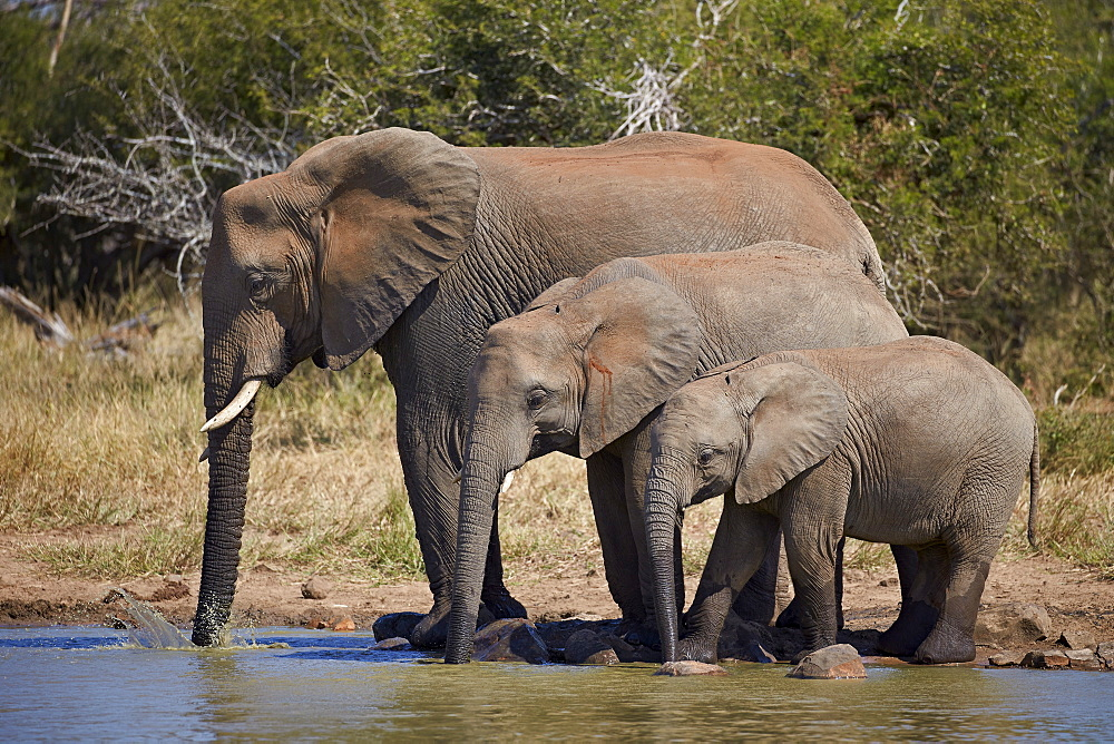 Three African elephant (Loxodonta africana) drinking, Kruger National Park, South Africa, Africa