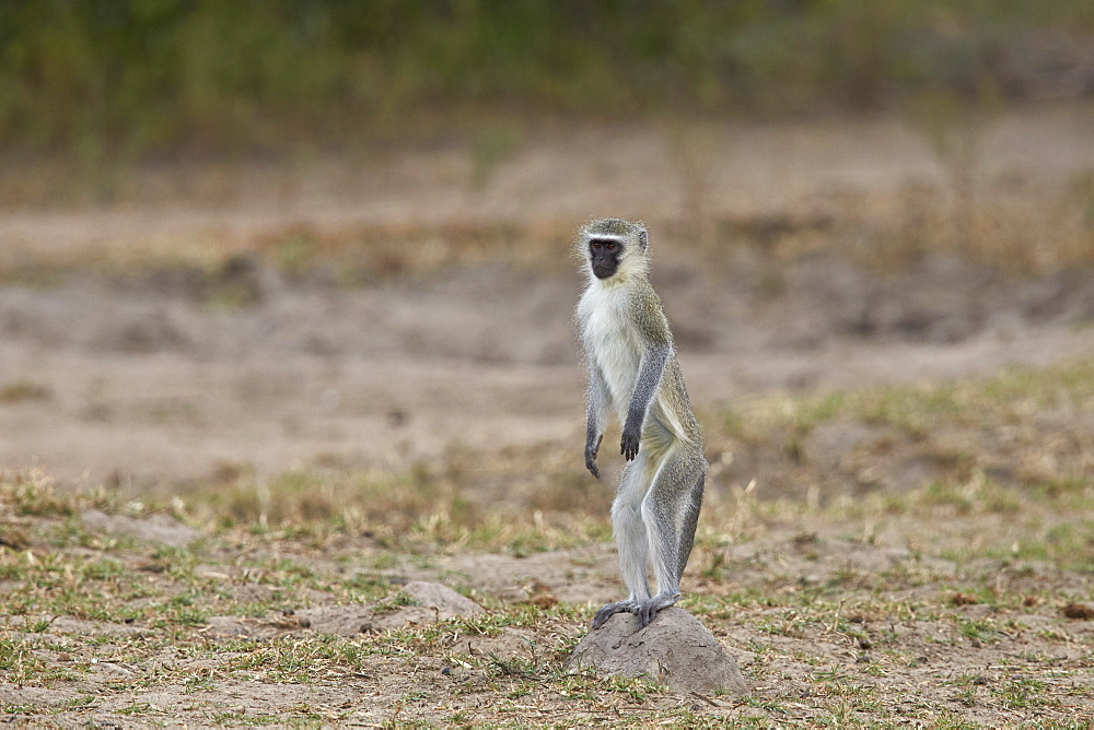 Vervet monkey (Chlorocebus aethiops) standing on its hind legs, Kruger National Park, South Africa, Africa