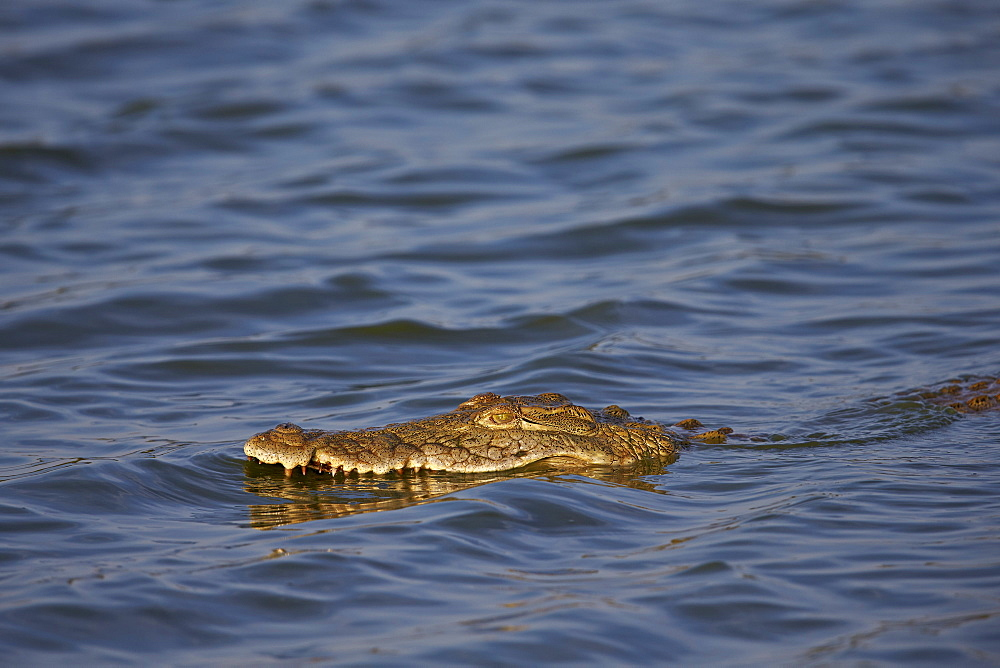 Nile crocodile (Crocodylus niloticus) swimming, Kruger National Park, South Africa, Africa