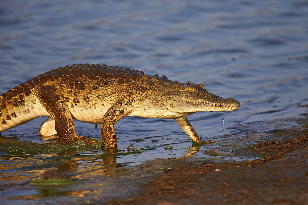 Nile crocodile (Crocodylus niloticus) exiting the water, Kruger National Park, South Africa, Africa