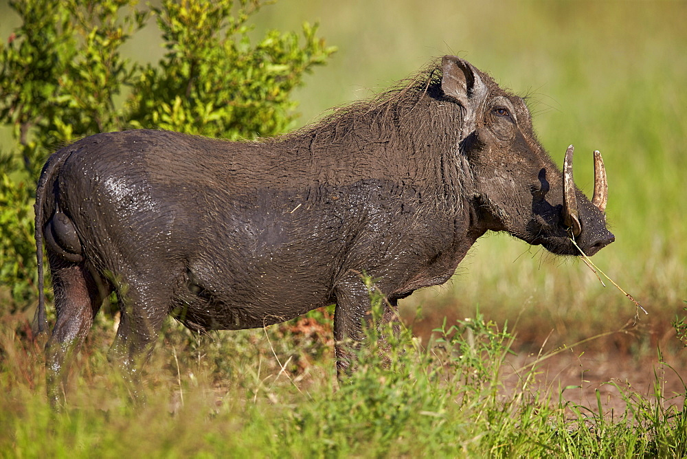 Warthog (Phacochoerus aethiopicus) male, Kruger National Park, South Africa, Africa