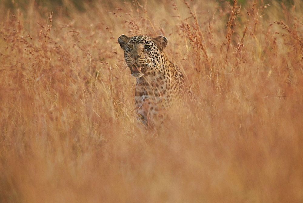 Leopard (Panthera pardus) in tall grass, Kruger National Park, South Africa, Africa