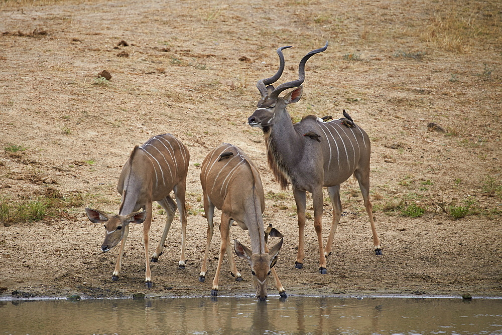 Greater kKudu (Tragelaphus strepsiceros) buck with two doe drinking, Kruger National Park, South Africa, Africa