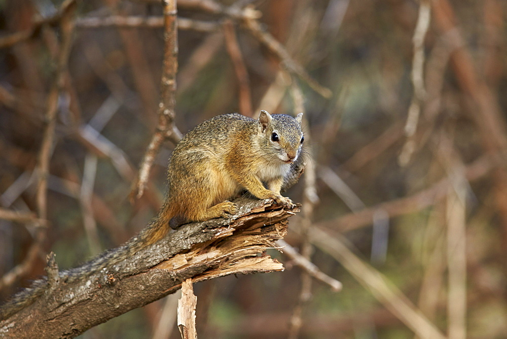 Tree squirrel (Smith's bush squirrel) (yellow-footed squirrel) (Paraxerus cepapi), Kruger National Park, South Africa, Africa