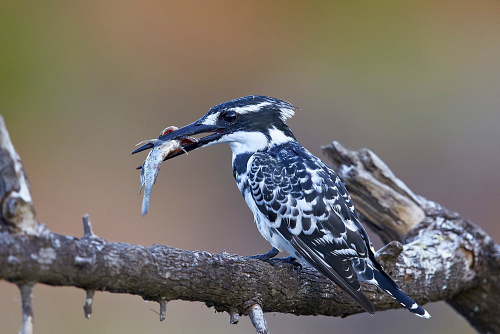 Pied kingfisher (Ceryle rudis) with a fish, Kruger National Park, South Africa, Africa