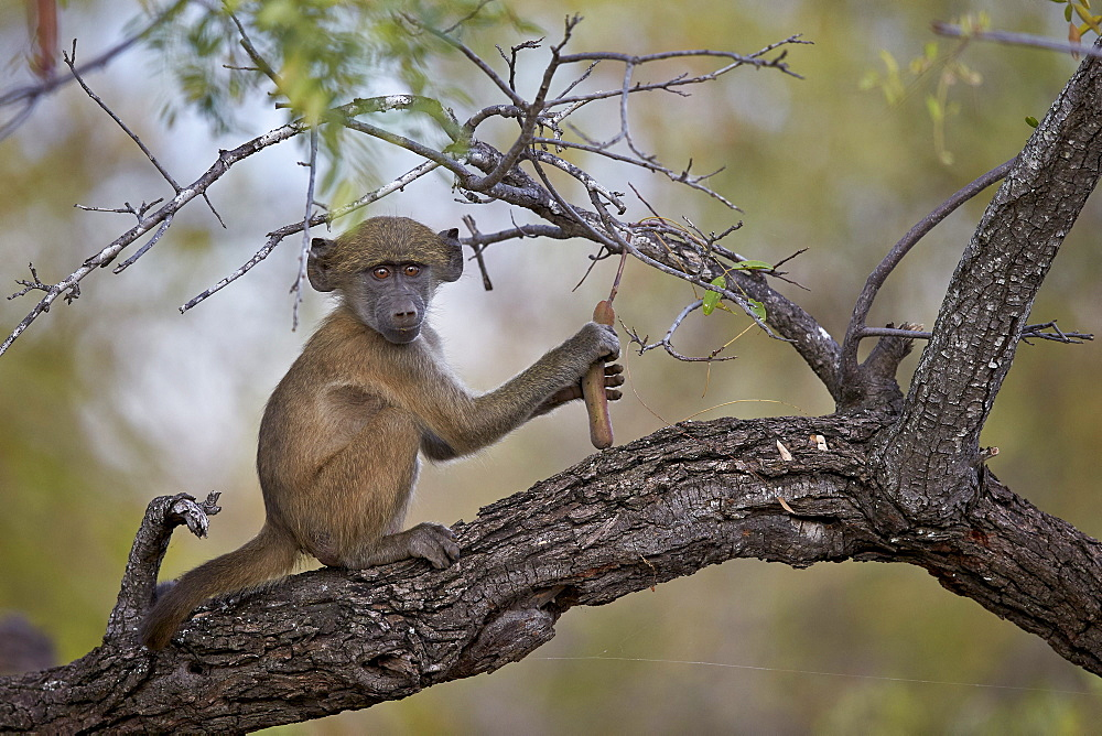 Chacma baboon (Papio ursinus) juvenile in a tree, Kruger National Park, South Africa, Africa