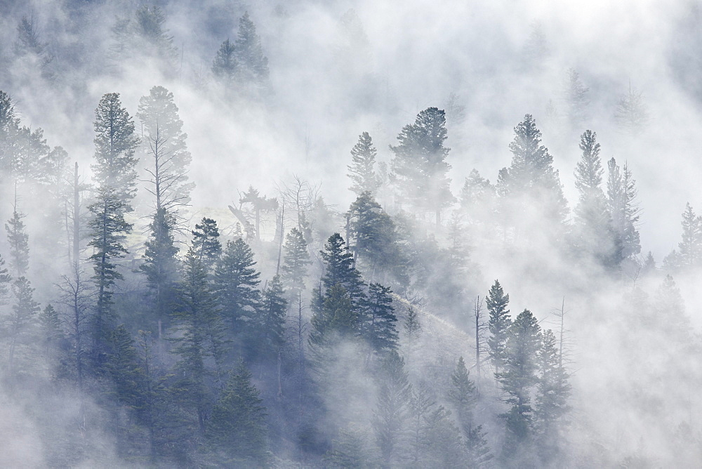 Evergreen trees in fog, Yellowstone National Park, UNESCO World Heritage Site, Wyoming, United States of America, North America